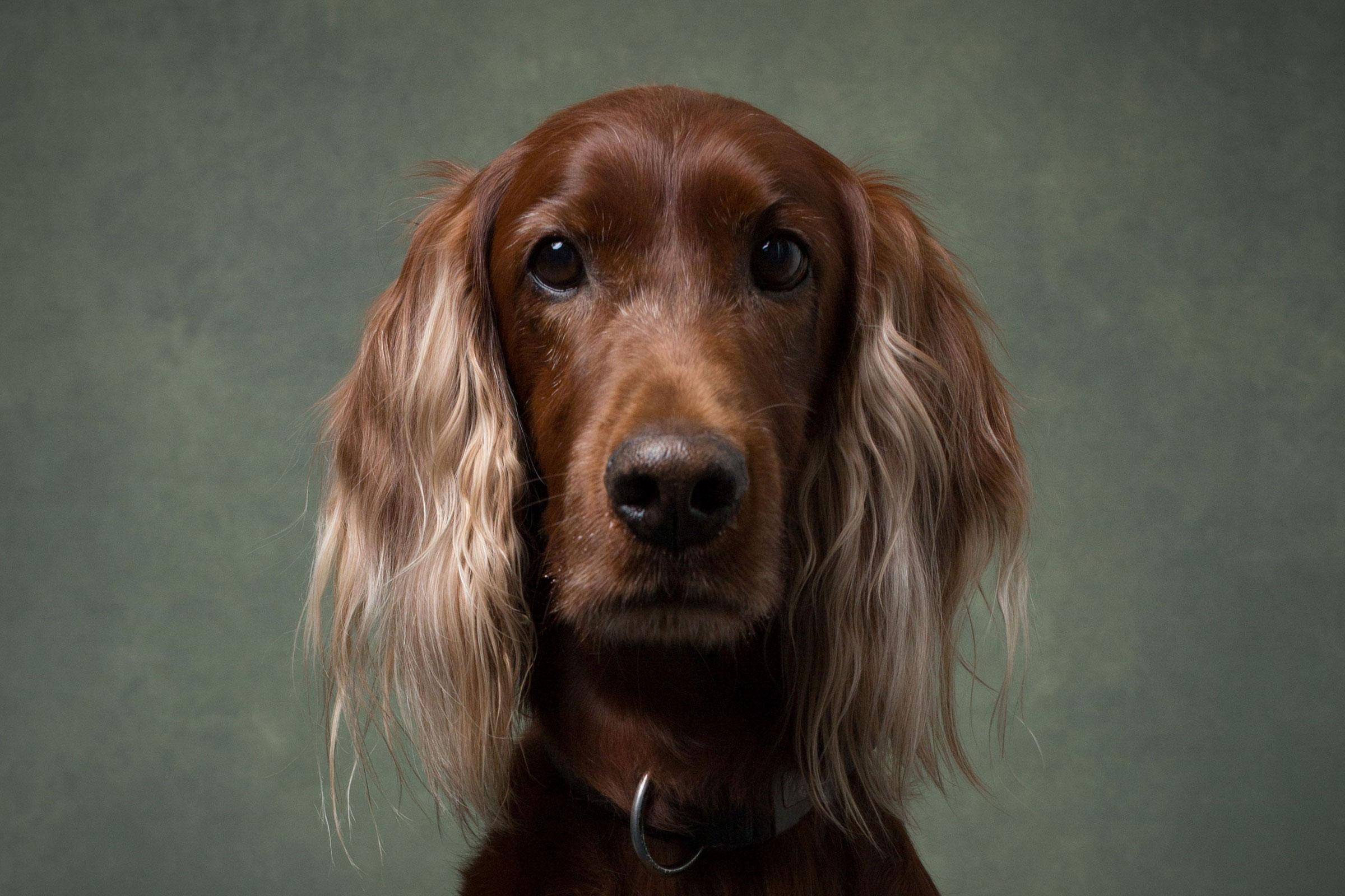 fine-art-portrait-of-dog-spaniel